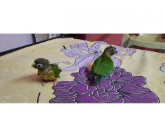 Tamed Yellow Sided Conure Chicks for sale